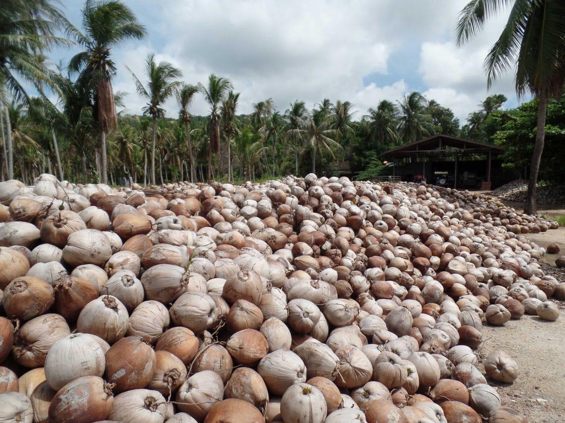 Koh Phangan cocos