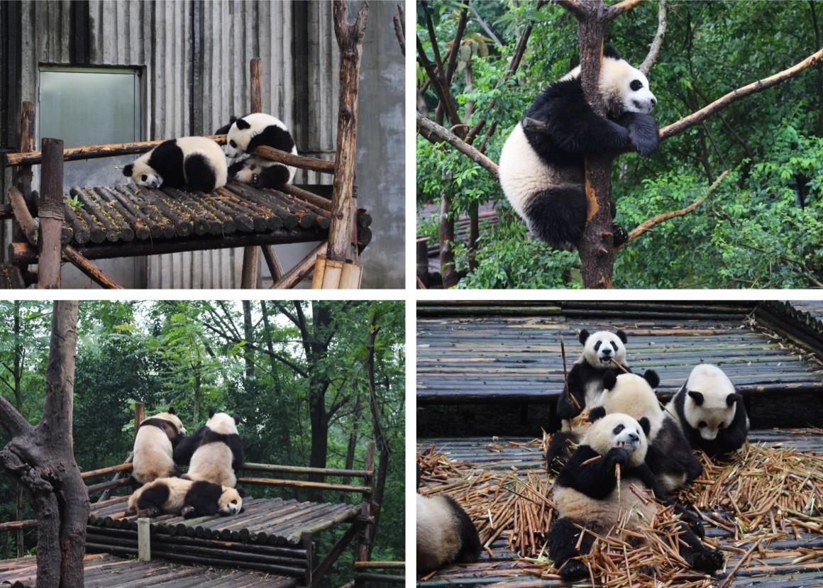 Chengdu Breeding Centre China Panda