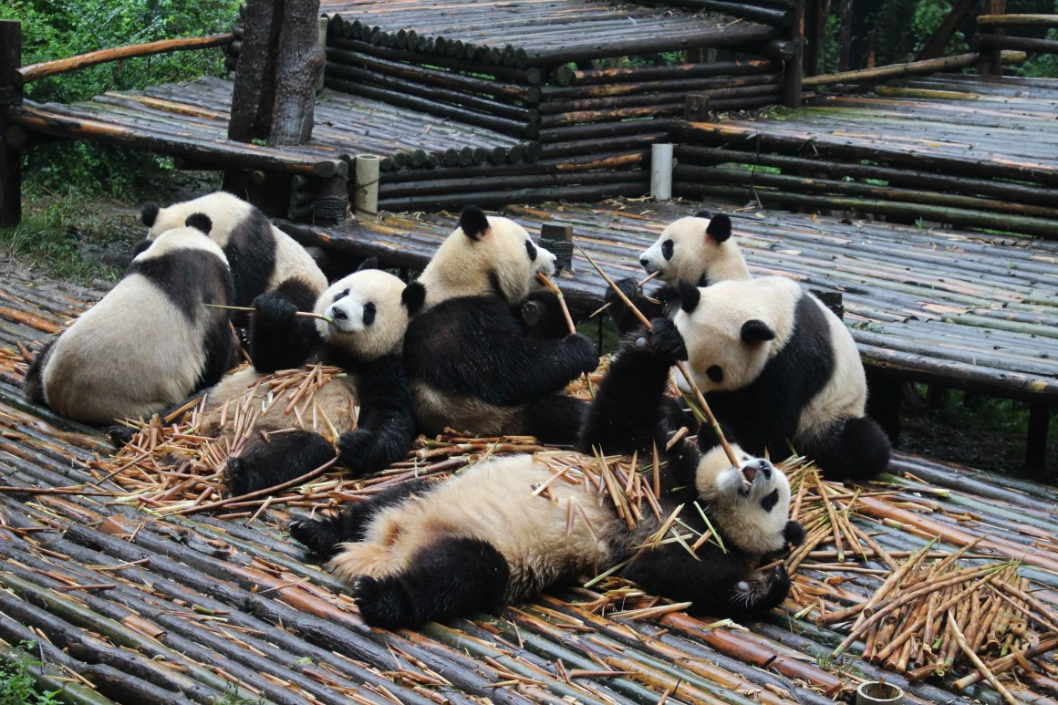 Panda breeding centre Chengdu