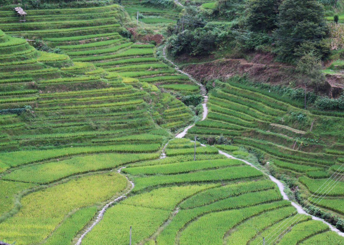 Pingan-china-rijst